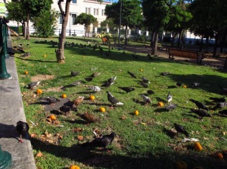 Birds eating oranges in Athens park