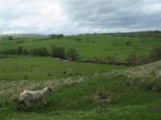 There's also lots of daggy looking sheep!
