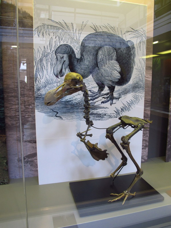 Dodo skeleton, York Museum