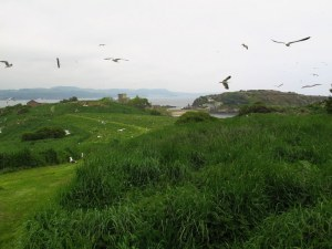 Seagulls on Inchcolm Island, Scotland
