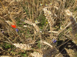 Poppies among the wheat fields
