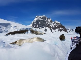 The crabeater seal's fur was stunning in the sun