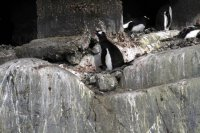 Little chick under the penguin at front